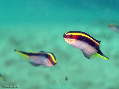 Eastern Hulafish | Trachinops taeniatus photo