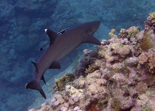 Whitetip Reef Shark | Triaenodon obesus photo