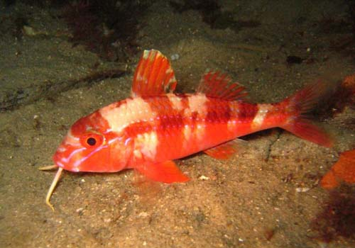 Blue-lined Goatfish | Upeneichthys lineatus photo