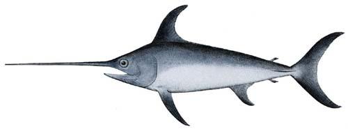 Swordfish   Xiphias gladius photo