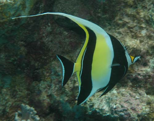 Moorish Idol | Zanclus cornutus photo