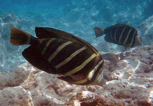 Sailfin Tang | Zebrasoma veliferum photo