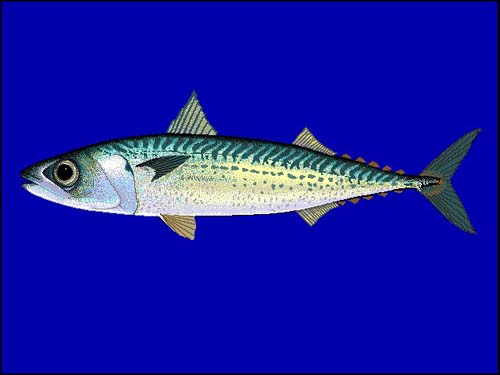 Blue Mackerel | Scomber australasicus photo