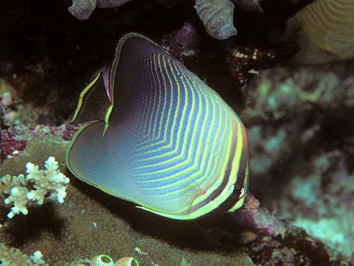 Eastern Triangular Butterflyfish | Chaetodon baronessa photo