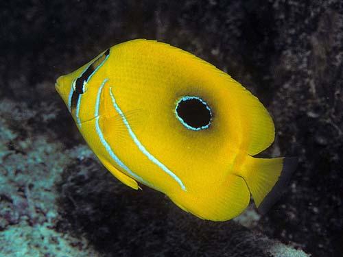 Bennett's Butterflyfish | Chaetodon bennetti photo