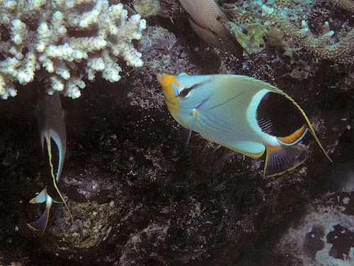 Saddled Butterflyfish | Chaetodon ephippium photo