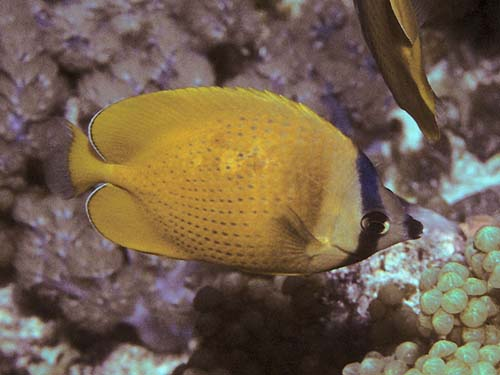 Klein's Butterflyfish | Chaetodon kleinii photo