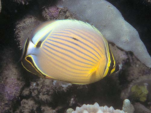 Redfin Butterflyfish | Chaetodon lunulatus photo