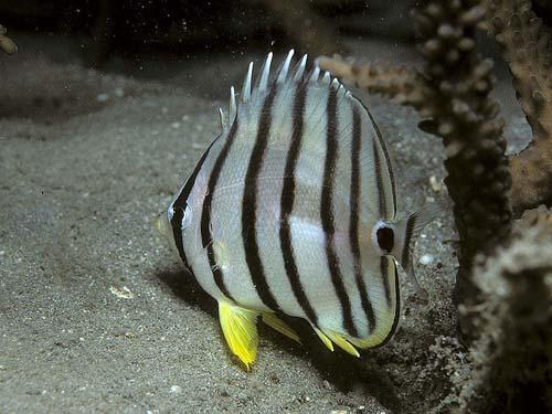 Eight-banded Butterflyfish | Chaetodon octofasciatus photo