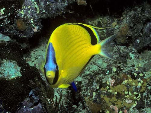 Dotted Butterflyfish | Chaetodon semeion photo