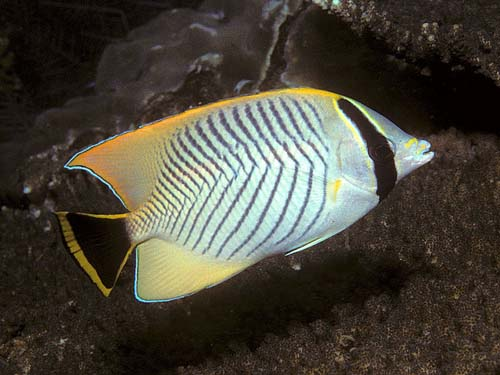 Chevroned Butterflyfish | Chaetodon trifascialis photo