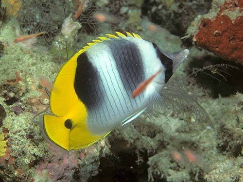 Double-saddle Butterflyfish | Chaetodon ulietensis photo