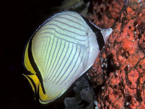 Vagabond Butterflyfish | Chaetodon vagabundus photo