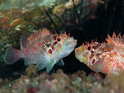 Cheekspot Scorpionfish | Scorpaenodes littoralis photo