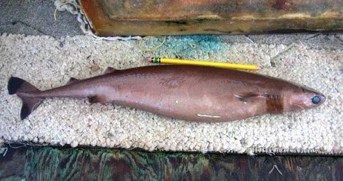 Cookie-cutter Shark | Isistius brasiliensis photo