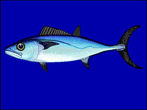 Dogtooth Tuna | Gymnosarda unicolor photo