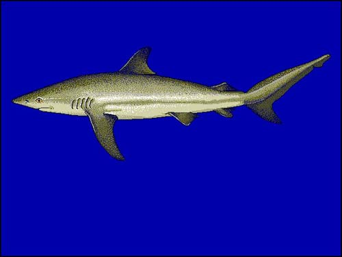 Dusky Shark | Carcharhinus obscurus photo