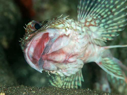 False Kelpfish | Sebastiscus marmoratus photo