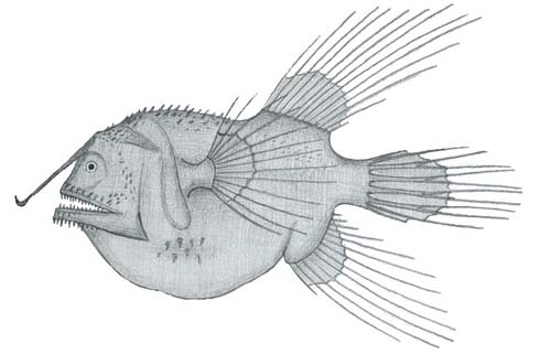 Fanfin Anglerfish | Caulophryne jordani photo