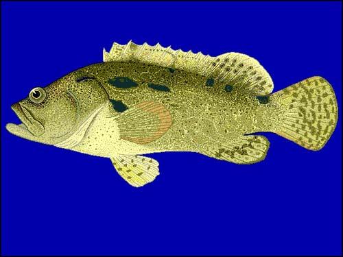 Flowery Cod | Epinephelus fuscoguttatus photo