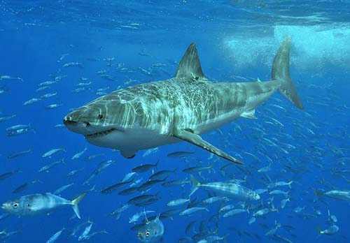 Great White Shark | Carcharodon carcharias photo