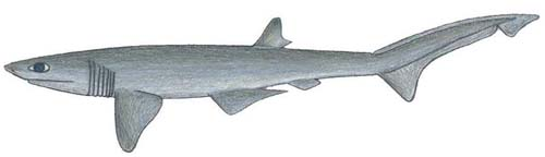 Sharpnose Sevengill Shark | Heptranchias perlo photo