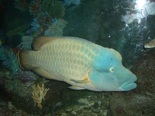 Humphead Maori Wrasse | Cheilinus undulatus photo