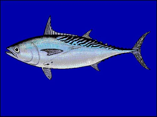 Mackerel Tuna | Euthynnus affinis photo