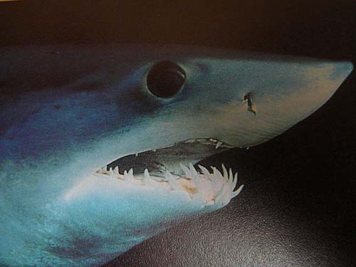 Shortfin Mako | Isurus oxyrinchus photo