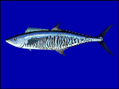 Narrow barred spanish mackerel scomberomorus commerson for Spanish mackerel fish