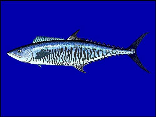 Narrow-barred Spanish Mackerel | Scomberomorus commerson photo