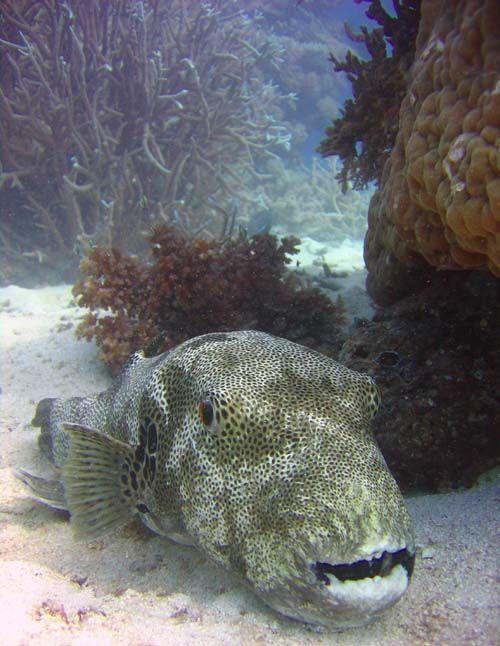 Starry Pufferfish | Arothron stellatus photo