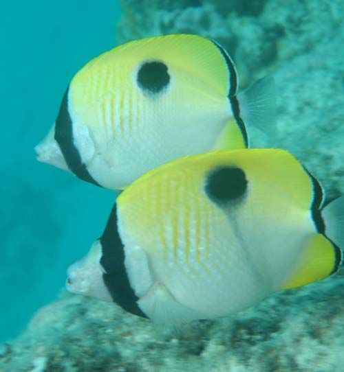 Teardrop Butterflyfish | Chaetodon unimaculatus photo
