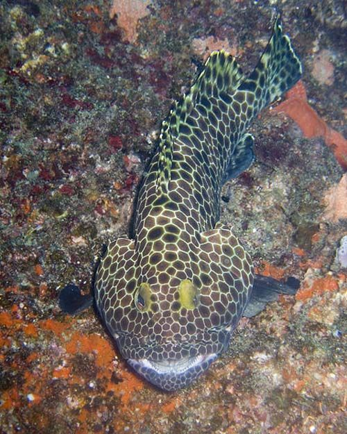 Honeycomb Grouper | Epinephelus merra photo