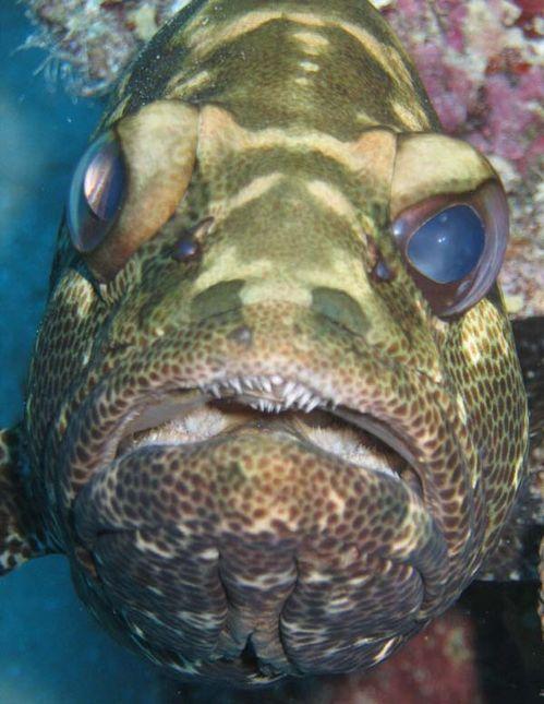 Camouflage Grouper | Epinephelus polyphekadion photo