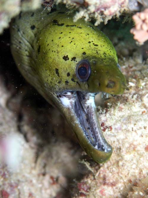 Fimbriate Moray | Gymnothorax fimbriatus photo