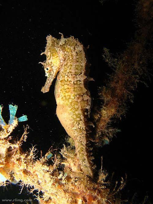 White's Seahorse | Hippocampus whitei photo
