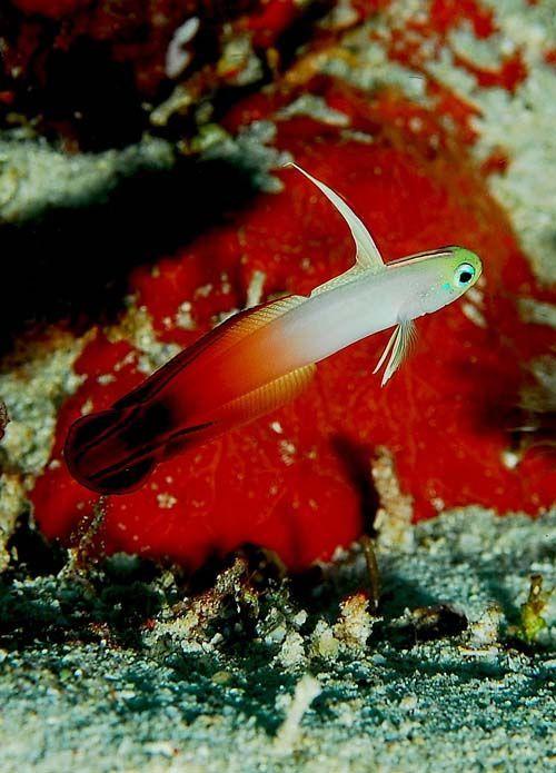 Fire Dartfish | Nemateleotris magnifica photo