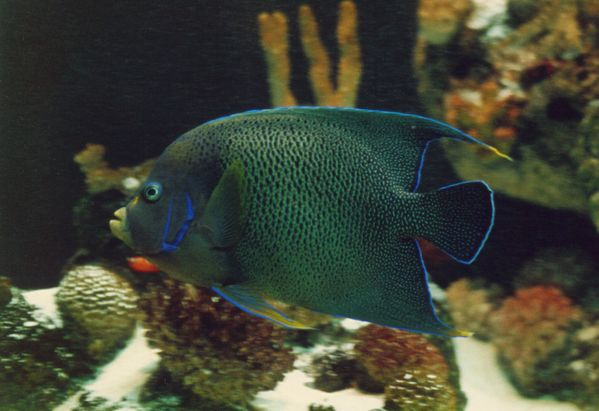 Blue Angelfish | Pomacanthus semicirculatus photo