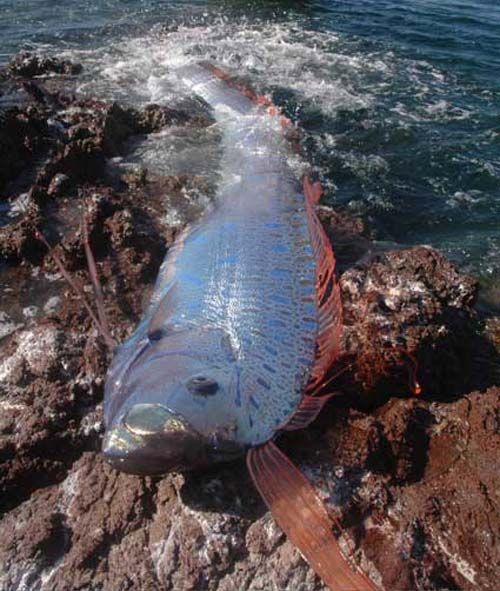 Oarfish | Regalecus glesne photo