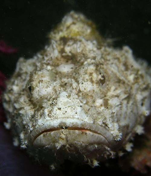 False Stonefish | Scorpaenopsis diabolus photo