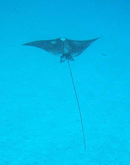 White-spotted Eagle Ray | Aetobatus narinari photo