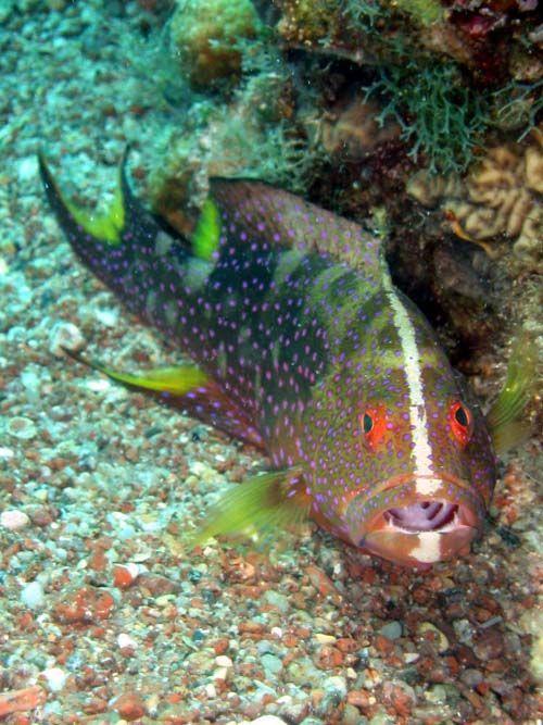 Coronation Cod | Variola louti photo