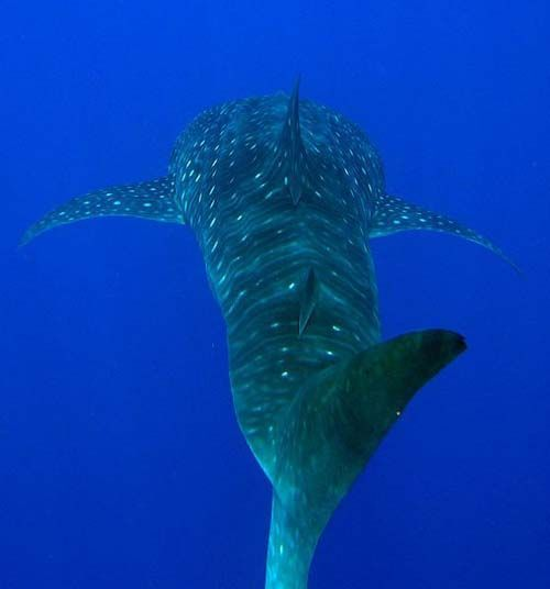 Whale Shark | Rhincodon typus photo