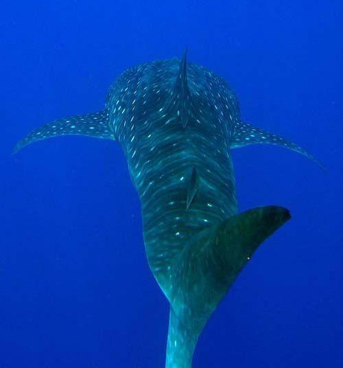 Whale Shark | Rhincodon typus photo