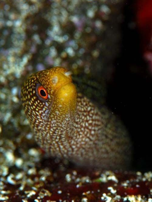 Abbott's Moray | Gymnothorax eurostus photo
