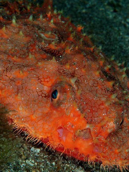 Starry Batfish | Halieutaea stellata photo