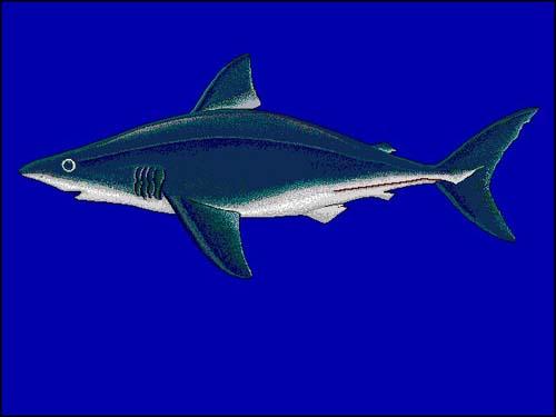 Porbeagle Shark   Lamna nasus photo