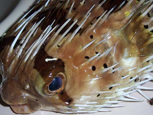 Freckled Porcupinefish | Diodon holocanthus photo