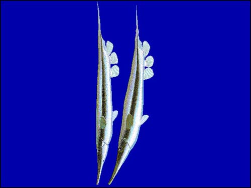 Razorfish | Aeoliscus strigatus photo